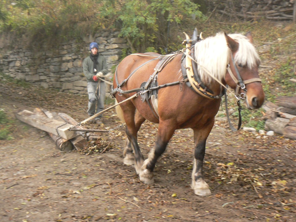 cheval de trait roumain
