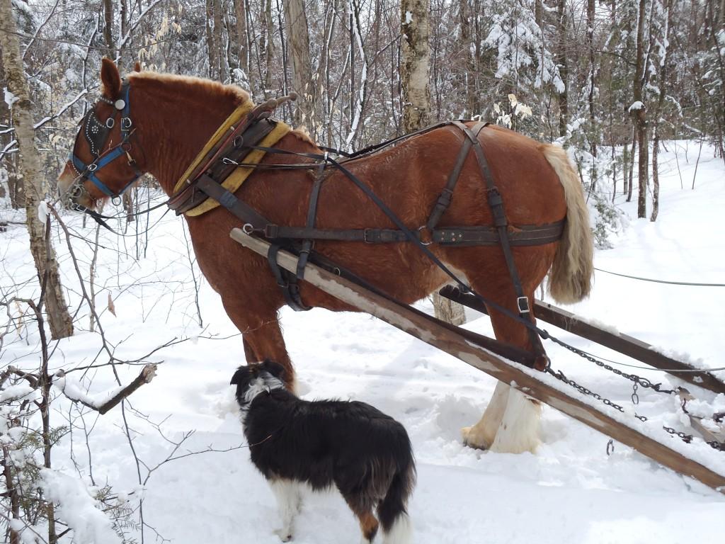 cheval de trait belge a vendre au quebec