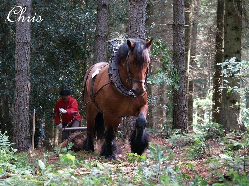 cheval de trait forestier